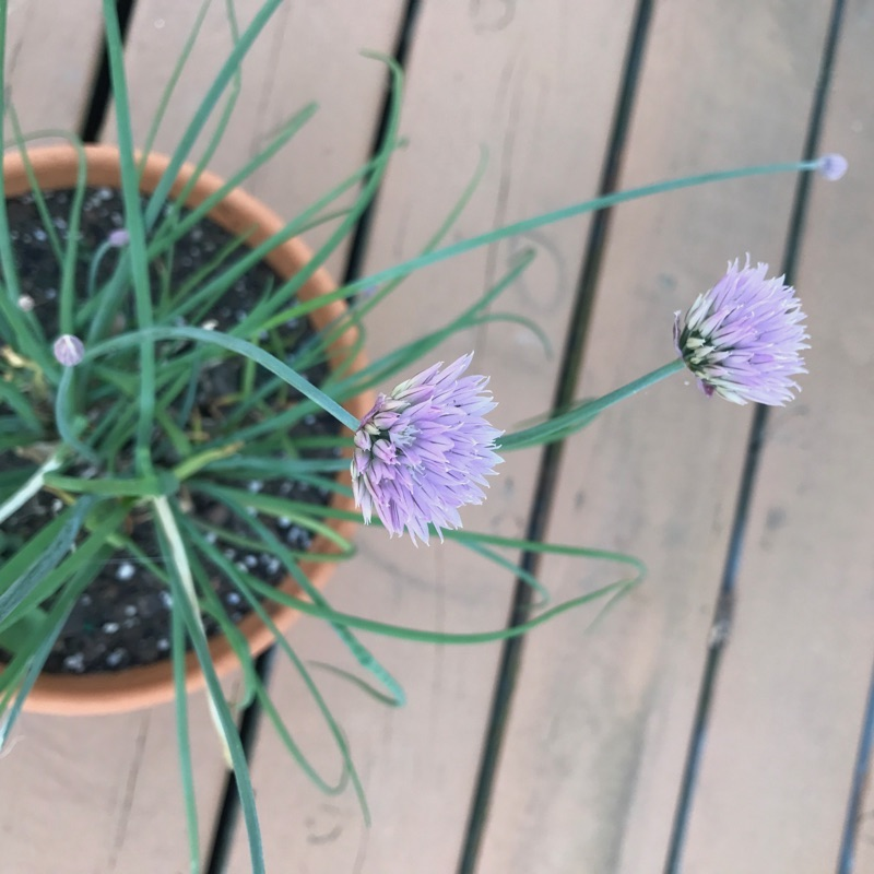 Flowering chives in a pot.